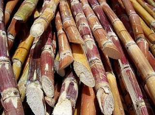 First monoploid reference sequence of sugarcane