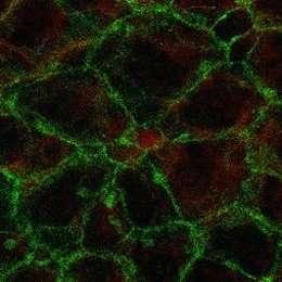 Flow of cerebrospinal fluid regulates division