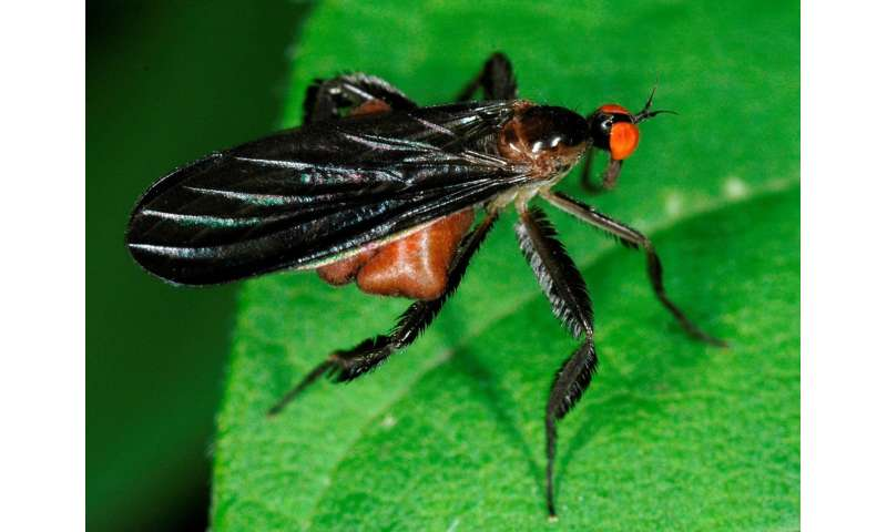 Fly mating choices may help explain variation across species