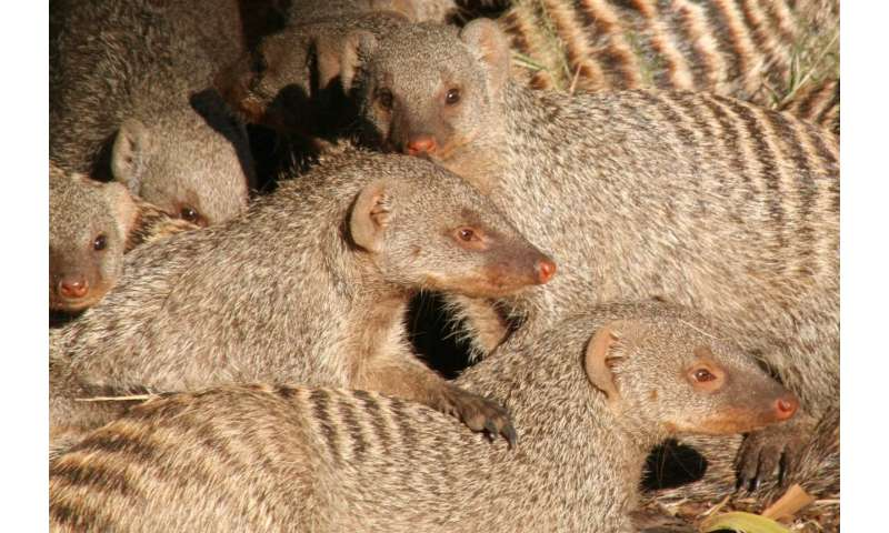 For a banded mongoose in northern Botswana, communicating with family can be deadly