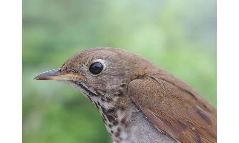 For disappearing Bicknell's thrushes, statistical models are lifesavers