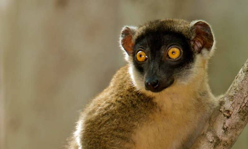 For lemurs, size of forest fragments may be more important than degree of isolation