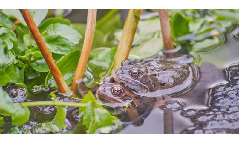 Frogs breed young to beat virus
