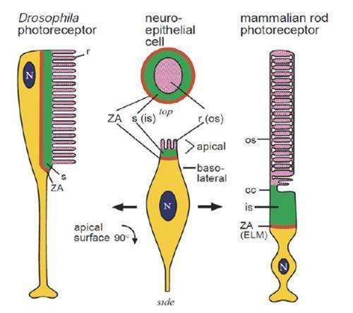 From metabolism to function; The extreme structural adaptations of photoreceptors