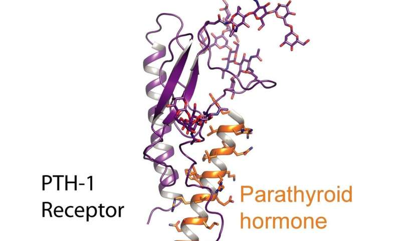 From receptor structure to new osteoporosis drugs