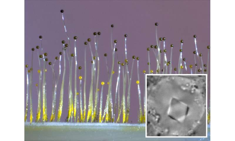 Fungus senses gravity using gene borrowed from bacteria