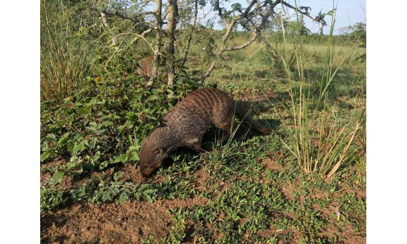 Fussy eating prevents mongoose family feuds