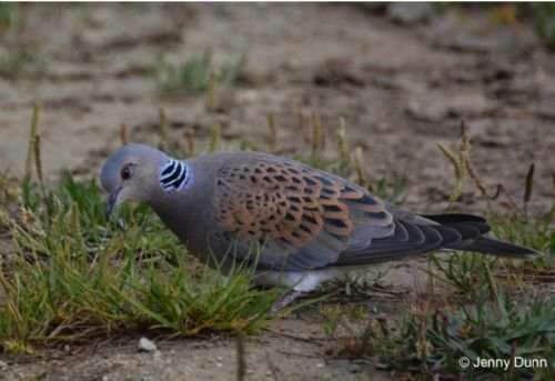 Garden seed influences young turtle doves' survival chances