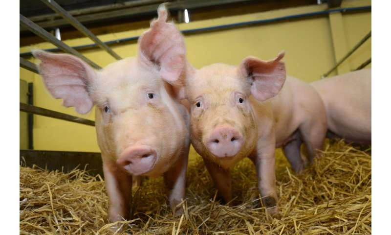 Gene-edited pigs are resistant to billion dollar virus, study finds