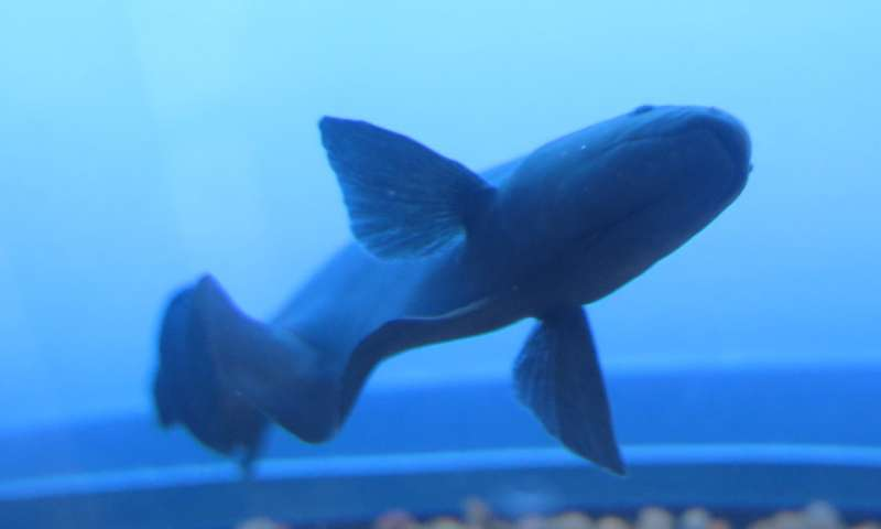 Gene responsible for electric fish 'spark' found in South American ghost knifefish