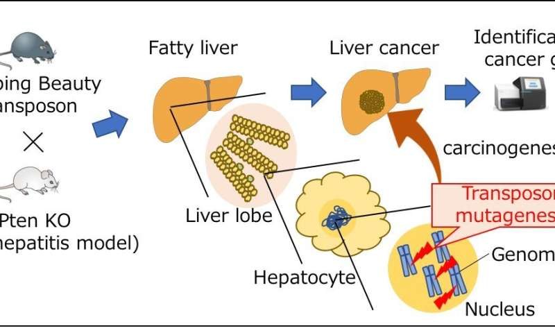 Gene screening technique helps identify genes involved in a fatty liver-associated liver cancer