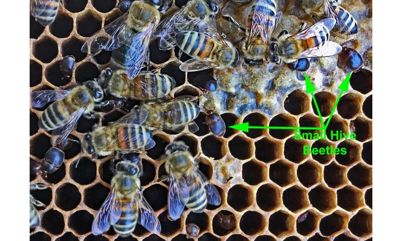 Genome published of the small hive beetle, a major honey bee parasite