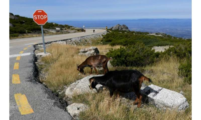 Goats are the latest recruits in Portugal's battle against summer forest fires