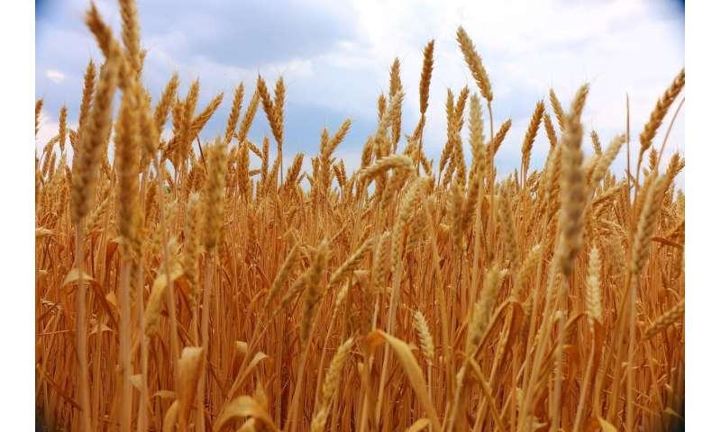grain production