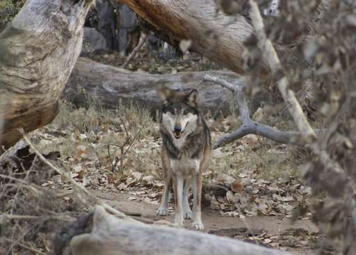 Gray wolf arrives at New Mexico  zoo for recovery program