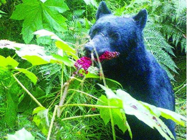 Great scat! Bears -- not birds -- are the chief seed dispersers in Alaska