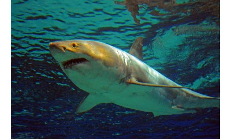 at least great white sharks off coast researchers
