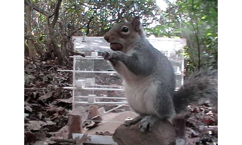 Grey squirrels beat reds in 'battle of wits'