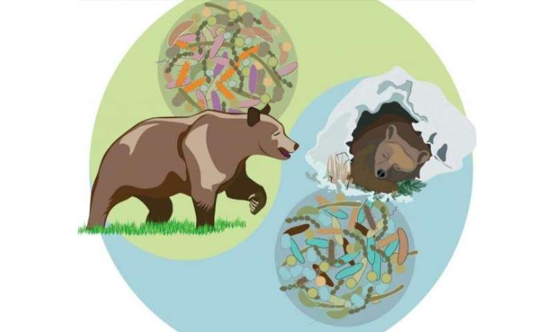 Gut bacteria keeps bears healthily obese