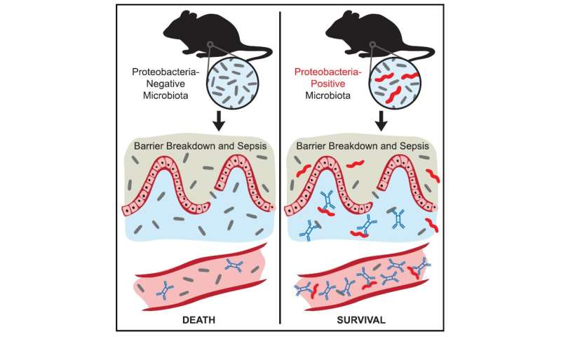 Gut microbes protect against sepsis: Mouse study