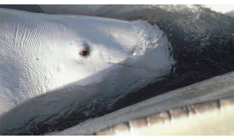 Hearing tests on wild whales