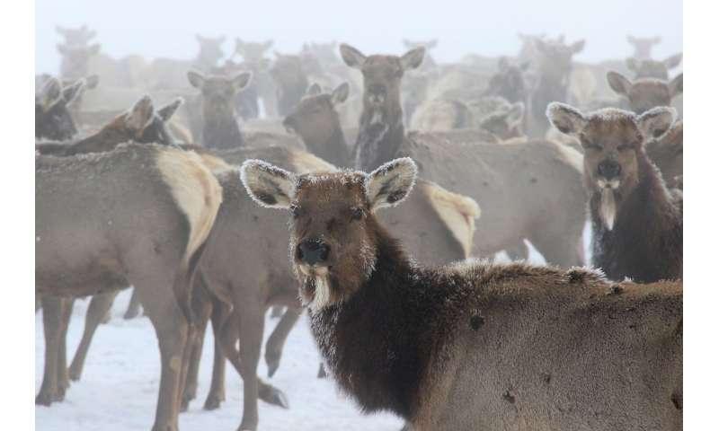 Hidden costs of disease to greater Yellowstone elk