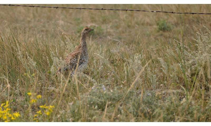 Higher temperatures likely to affect sharp-tailed grouse, study finds