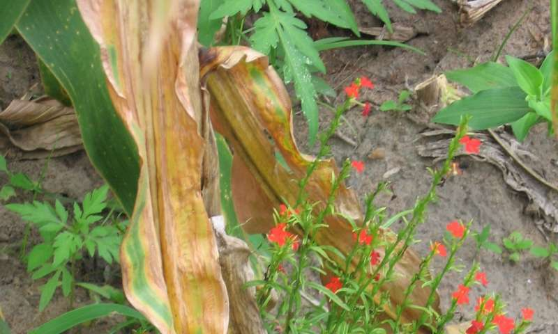 High-protein corn also resistant to parasitic weed
