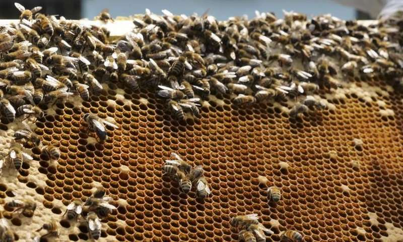 Honeybee hive-mates influenced to fan wings to keep hive cool