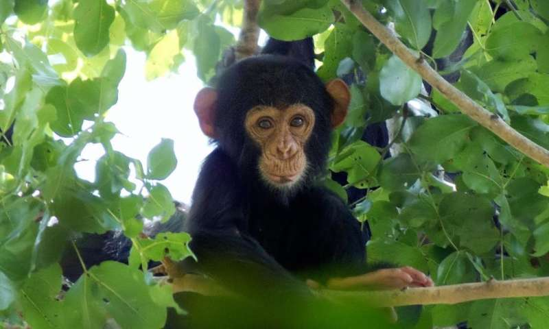 How chimp DNA techniques turned us into jungle detectives