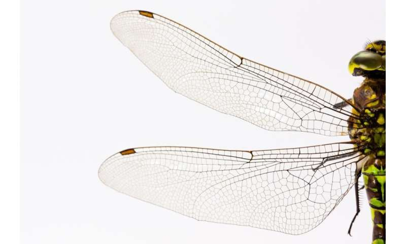 How deadly dragonfly wings bust up bacteria