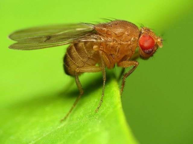 How does dietary restriction extend lifespan in flies?