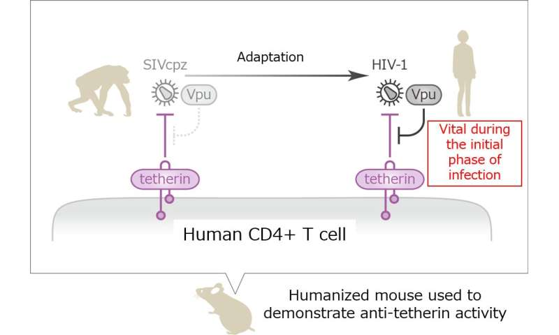 How does HIV escape cellular booby traps?