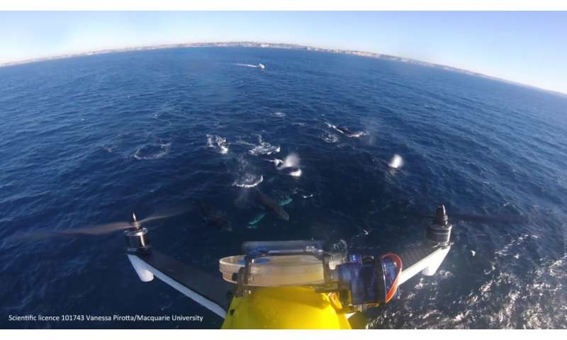 How scientists are monitoring whale health by using drones to collect their blow