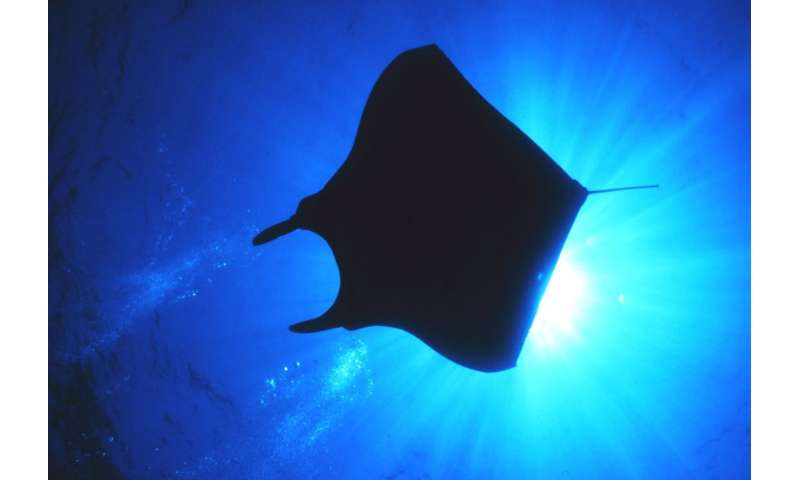 How the devil ray got its horns Howthedevilr