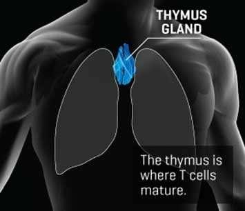 How the immune system's key organ regenerates itself