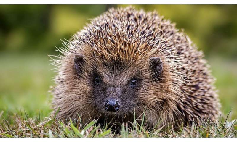How to stop the humble hedgehog disappearing from British gardens and countryside forever