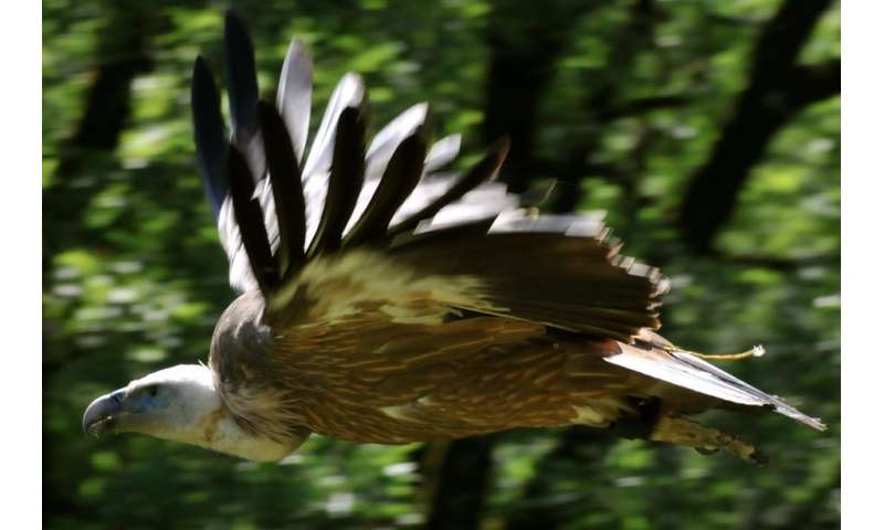 How vultures use each other as guides through the turbulent skies