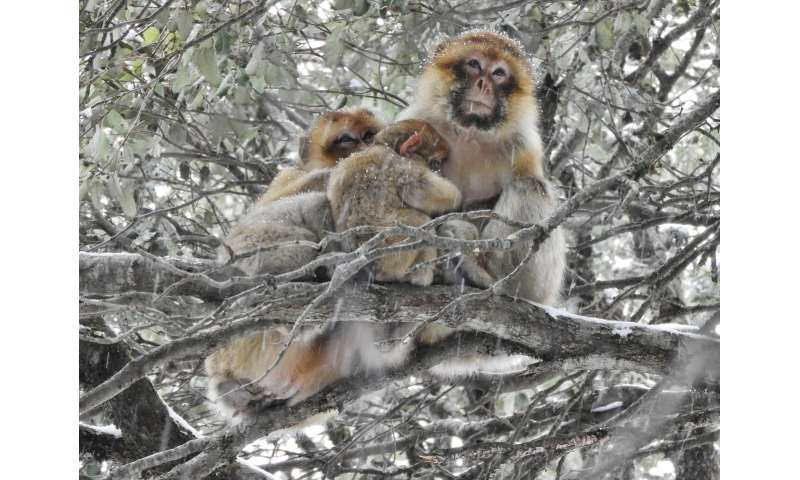 Huddling for survival: monkeys with more social partners can winter