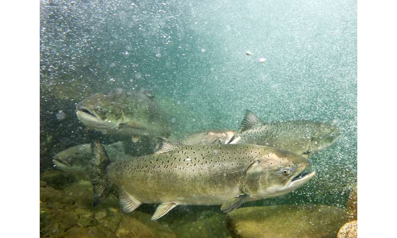 Human actions impact wild salmon's ability to evolve