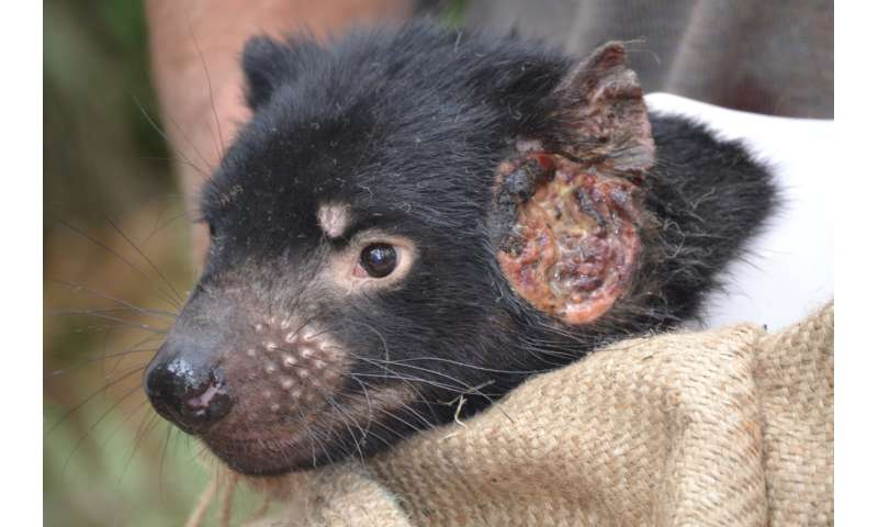 Human drugs could help treat transmissible cancers in Tasmanian devils