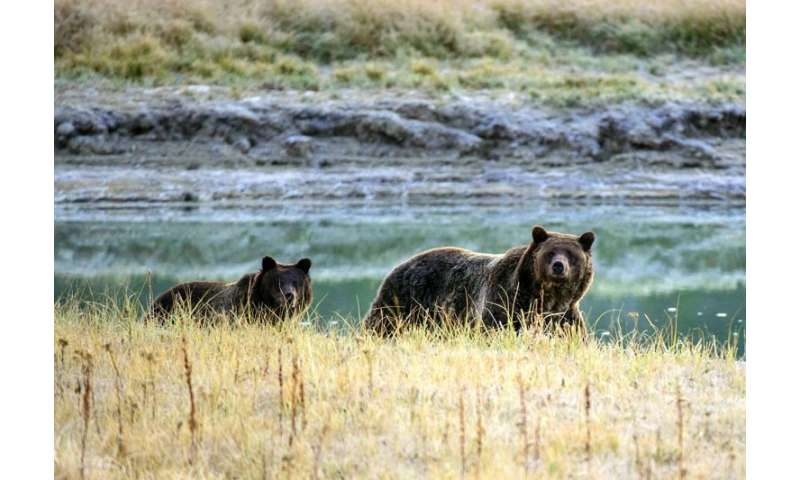Hunts of the Yellowstone grizzly bear were canceled