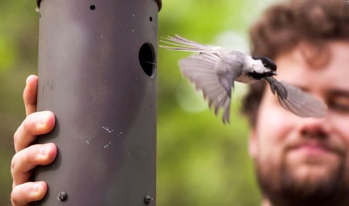 Hybrid chickadees found deficient at learning and memory