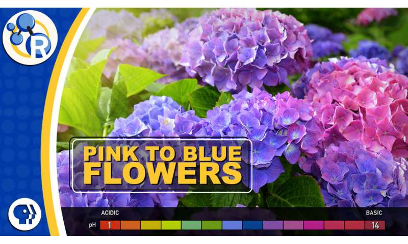 Hydrangeas, the strange color-changing flowers (video)
