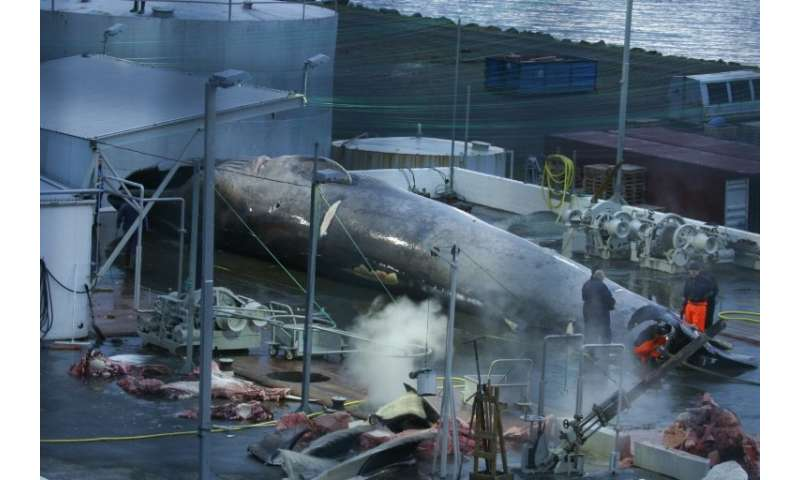 Icelandic conservationists have asked that the country's public prosecutor look into whether the whaling company Hvalur hf has v