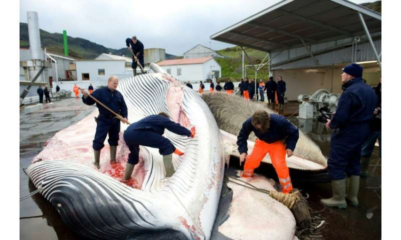 Icelandic whaling company Hvalur, whose employees are pictured cutting open a 35-tonne Fin whale in 2009, will begin hunting the