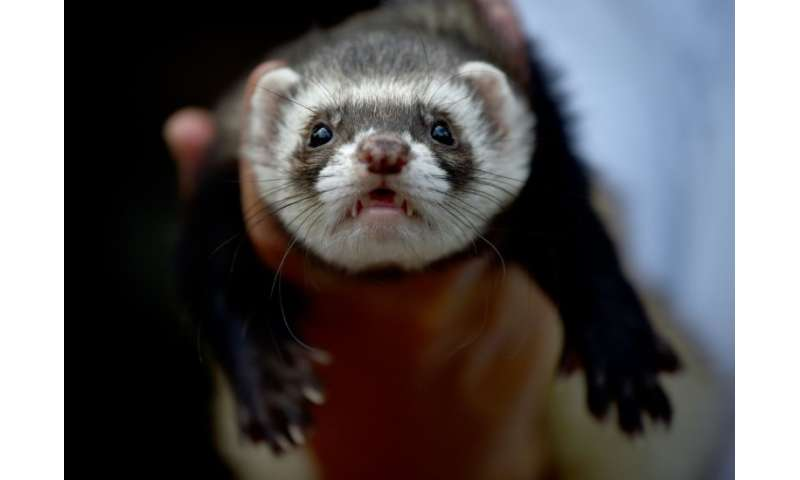If Britain is classified as an unlisted third country, owners of ferrets like this one pictured in Australia could face months o