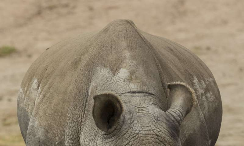Imminent extinction of northern white rhinoceros motivates genetic recovery efforts