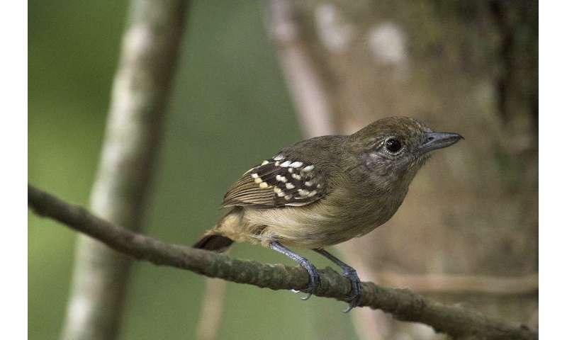 Improving 'silvopastures' for bird conservation