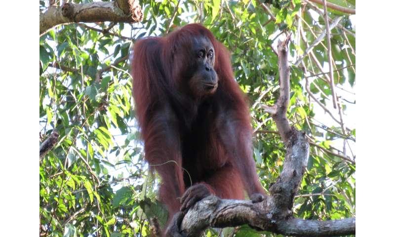 In 16 years, Borneo lost more than 100,000 orangutans